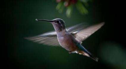 Hummingbird, © Matthew B. Propert